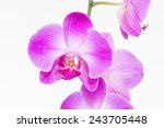purple phalaenopsis orchids... | Shutterstock . vector #243705448