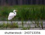 great egret in the wild | Shutterstock . vector #243713356