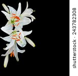 White Lily Flower On A Black...