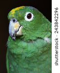Small photo of mealy amazon female (Amazona farinosa farinosa)