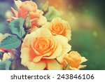 Stock photo roses in the garden 243846106
