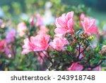 Pink Azalea Flower  Azalea...