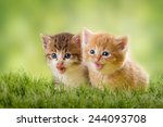 Stock photo two kittens on green meadow in back light 244093708