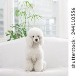 white poodle sitting on the bed ... | Shutterstock . vector #244110556