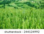 mountain field with cornflowers | Shutterstock . vector #244124992