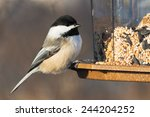 Black Capped Chickadee Perched...