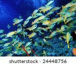 shoal of yellow fish in deep blue over grey coral reef - stock photo