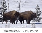 Winter Bison In Yellowstone...