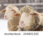 Close up of two sheep standing on snow on farm