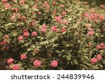 Stock photo retro roses in garden 244839946