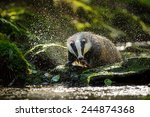 european badger shaking and... | Shutterstock . vector #244874368