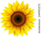 Sunflower  Realistic Vector...