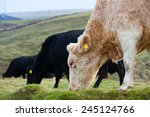 Cows Grazing In The Field On...