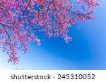 Sakura Tree. Chiangmai Thailand ...