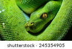 Body Of Green Tree Python...
