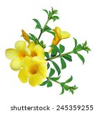 Allamanda Flower   Yellow Bell  ...