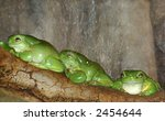 Three Green Tree Frogs.