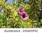 Small photo of Allamanda blanchetii, Allamanda violacea or Cherry Jubilee leaves and flowers.