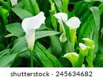 Calla Lily White Flower And...