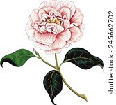 Camellia Flower Isolated On A...