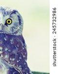 Small photo of Boreal Owl (Aegolius funereus) at sunrise