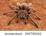 Chilean Rose Hair Tarantula ...