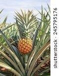 fresh tropical pineapple . | Shutterstock . vector #245795176