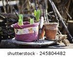 Hyacinth Bulbs In Handmade...