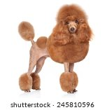 Toy Poodle In Stand On A White...