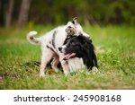 Stock photo old dog border collie and puppy playing in the summer 245908168