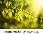 sunny young green spring ... | Shutterstock . vector #246024916
