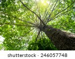 big tree with green leaves ... | Shutterstock . vector #246057748