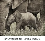 Stock photo baby elephant and his mother 246140578