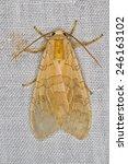 Small photo of Tussock Moth, Halysidota sp.