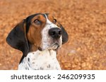 Stock photo treeing walker coonhound hound dog looking expectantly begging waiting watching staring sitting 246209935