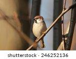 Eurasian Tree Sparrow  Passer...