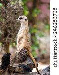 alert suricate or meerkat ... | Shutterstock . vector #246253735