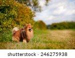 Cute Pomeranian Dog Standing On ...