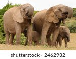 african elephant family group... | Shutterstock . vector #2462932