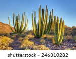 Organ Pipe Cactus At Sunrise.