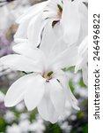 magnolia stellata flower   Shutterstock . vector #246496822