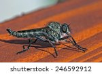 Small photo of east european robbe fly Asilus crabroniformis - insect seen from the side