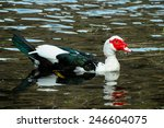 Muscovy Duck Swimming In A...