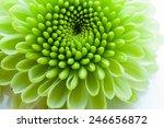 Green Chrysanthemum Isolated O...