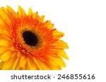 daisy gerbera flower on white.