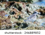 Small photo of An American Golden-Plover wades ins a tide pool in Mexico