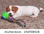 Stock photo the puppy jack russell goes on carpet plays ball 246908428