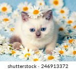 Stock photo cute little color point kitten sitting on chamomile flowers 246913372