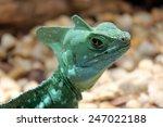 angry lizard stare   green... | Shutterstock . vector #247022188