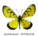 Stock photo beautiful yellow butterfly in fancy color tawny coster isolated on white background 247034158